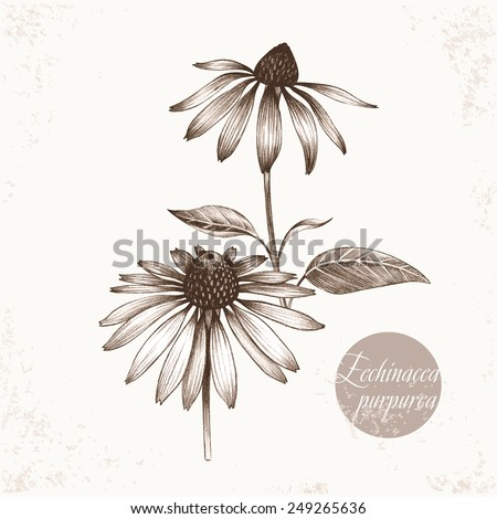 Vector images of medicinal plants. Biological additives are. Healthy lifestyle. Echinacea purpurea. - stock vector