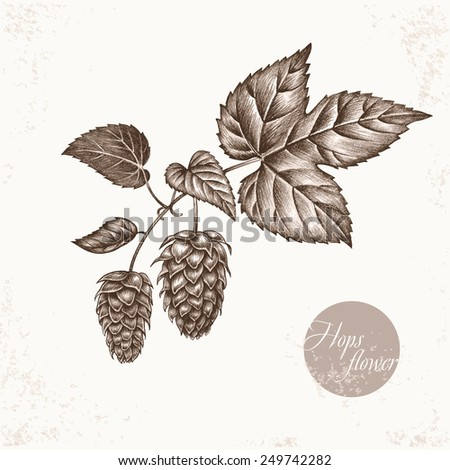 Vector images of medicinal plants. Biological additives are. Healthy lifestyle. Hops flower. - stock vector