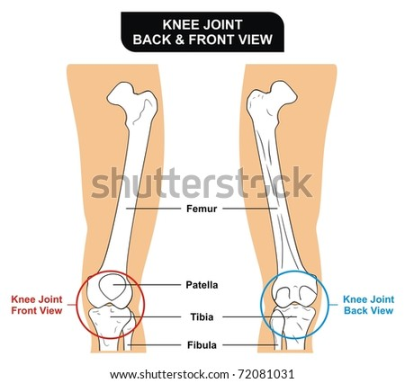 VECTOR - Knee Joint - Front and Back View - Bones ( Femur, Tibia, Fibula, Patella) - Kneecap - stock vector