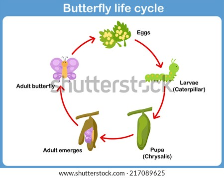 Vector Life Cycle Butterfly Kids Stock Vector Royalty Free