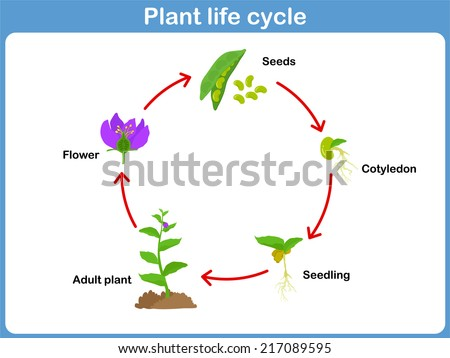 Vector Life Cycle Plant Kids Stock Vector 217089595 Shutterstock