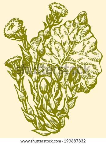 Vector monochrome drawing of a shading ink on paper. Early spring primroses Coltsfoot (Tussilago Farfara), used in medicine and a good honey plant  - stock vector