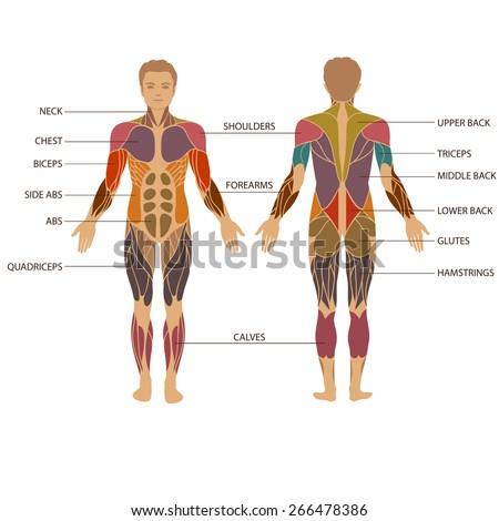 vector muscular human body, muscle man anatomy,  - stock vector