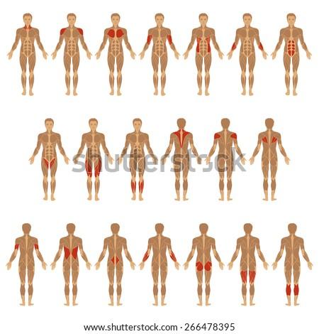 vector muscular human body muscle man stock vector 266478395, Muscles