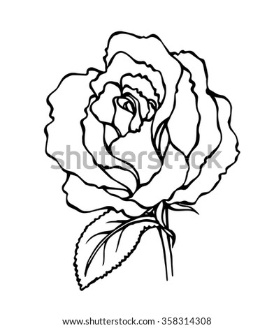 Vector of hand draw rose flower