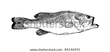 vector of hand drawn sketch of large mouth bass fish done in black ink isolated on white background