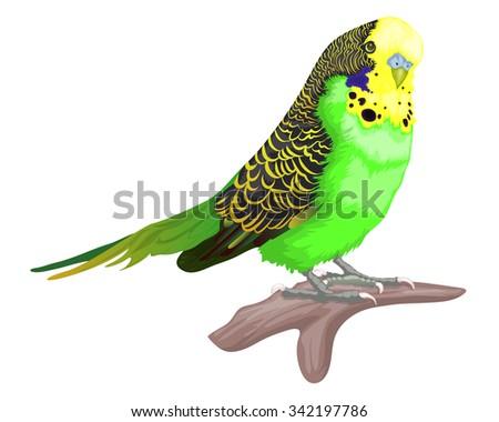 vector of Parakeet bird isolated on white - stock vector