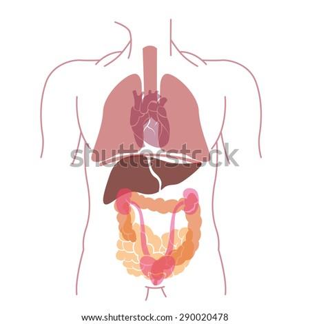 Vector Organ Anatomy Inside Body Stock Vector 290020478 Shutterstock
