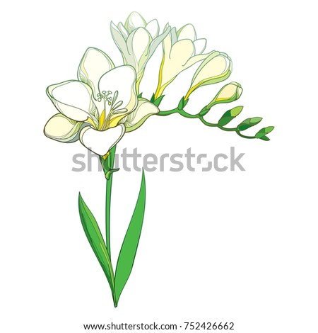 Vector outline white freesia flower bunch stock vector 2018 vector outline white freesia flower bunch with bud and green leaves isolated on white background mightylinksfo