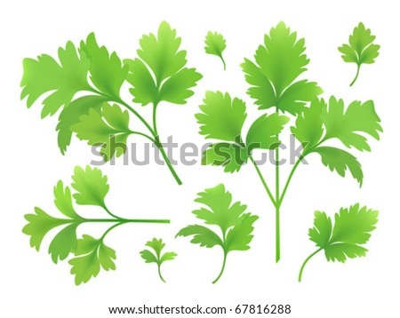 Vector parsley branches and leaves. Created using gradient meshes. - stock vector