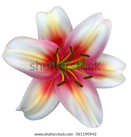 vector photo realistic white lilly  - stock vector