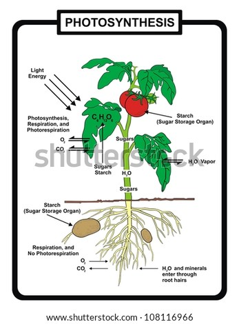 Vector - Process of Photosynthesis - stock vector