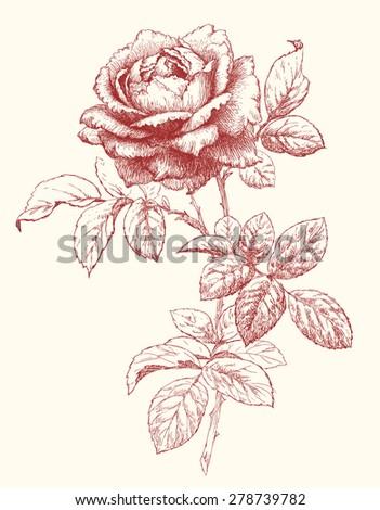 Vector Rose. - stock vector