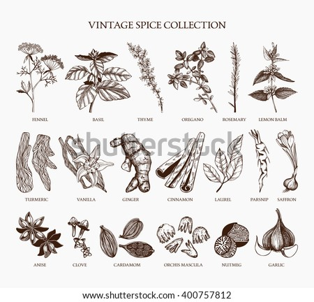Vector set of hand drawn spices and herb sketch isolated on white background. Vintage spice collection for your menu or kitchen design - stock vector