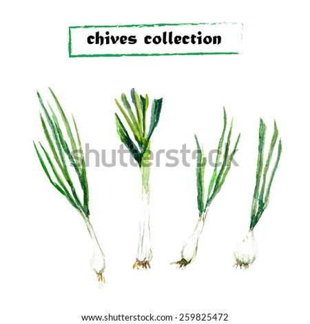 Vector set of watercolor chives elements. Herbs collection. - stock vector