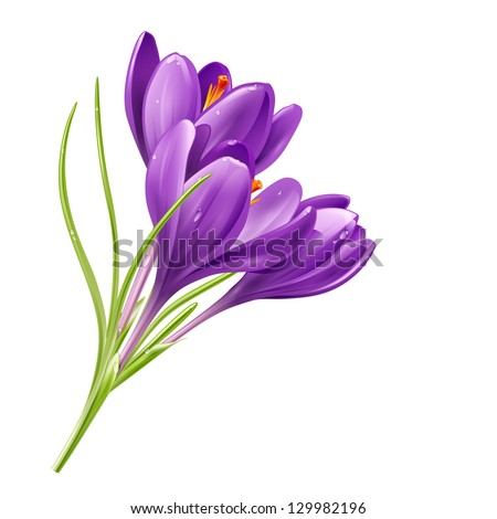Vector spring flowers isolated on white background. Vector illustration crocuses - stock vector