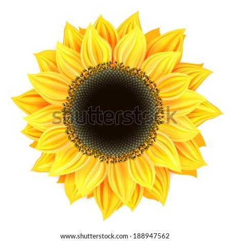 Vector sunflower isolated - stock vector