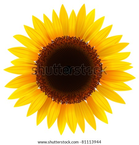 Vector sunflower, realistic illustration. - stock vector