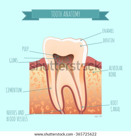 Vector Tooth Anatomy Your Design Stock Vector (Royalty Free ...