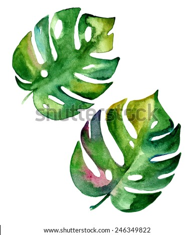 vector tropical leaf, monstera. watercolor illustration of an exotic plant.  - stock vector