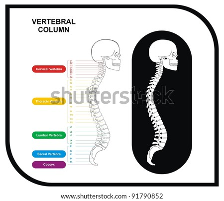 VECTOR - Vertebral Column (Spine) Diagram including Vertebra Groups ( Cervical, Thoracic, Lumbar, Sacral ) - Useful For Medical Education and Clinics - stock vector