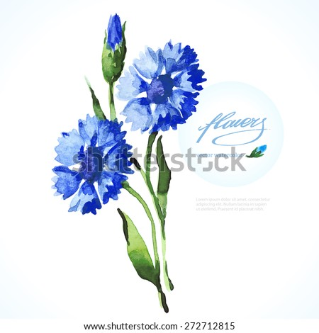 Vector Watercolor Blue Cornflower On White Backdrop Isolated Beautiful Hand Drawing Summer Flowers Floral