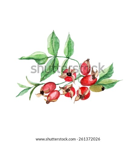 vector watercolor branch of briar. it can be used for card, label, menu, recipe, poster