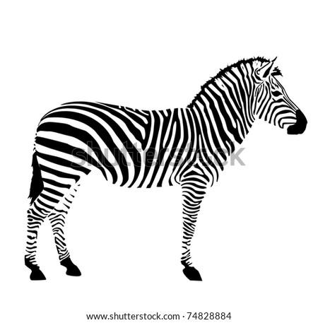 vector zebra on white background - stock vector