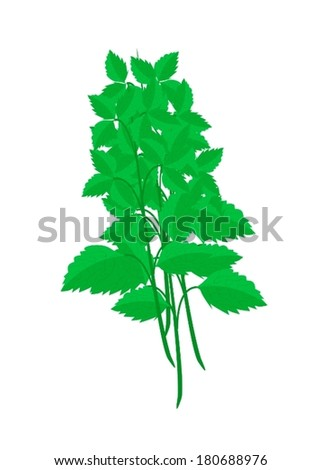 Vegetable and Herb, Vector Illustration of Holy Basils or Sacred Basil Plants Used for Seasoning in Cooking.