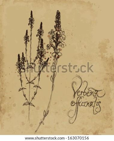 Verbena officinalis / Vintage card with sketch of magical medicinal herb  - stock vector