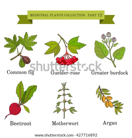 Vintage collection of hand drawn medical herbs and plants, common fig, guelder-rose, greater burdock, beetroot, motherwort, argan. Botanical vector illustration - stock vector