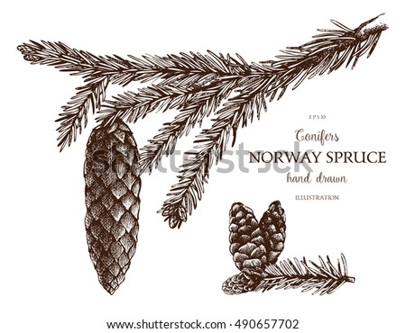 Vintage Fir illustration. Hand drawn Norway Spruce sketch on white background. Vector conifer tree.