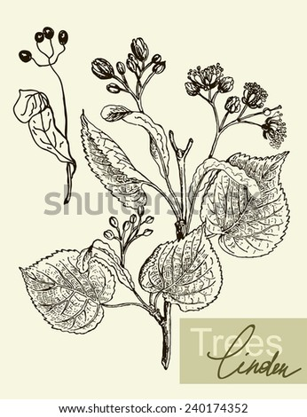 Vintage graphic Vector leaves, flowers and fruits of the linden. - stock vector