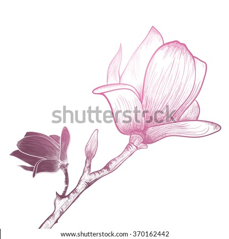 Vintage Magnolia Flower Over White Background - stock vector