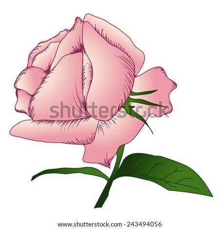 Vintage Pink Rose Illustration Over White Background  - stock vector
