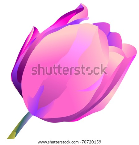 Violet flower of a tulip isolated on a white background