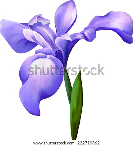 violet iris flower isolated on white background, illustration, of a pink iris blossom with bud on a white background. - stock vector