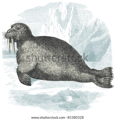Walrus Illustration Vintage