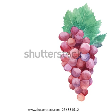 Watercolor grape with leaves. Hand painted vintage illustration in vector. Object isolated on white background  - stock vector