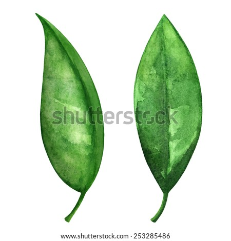 Watercolor green tea leaves set closeup isolated on white background  - stock vector