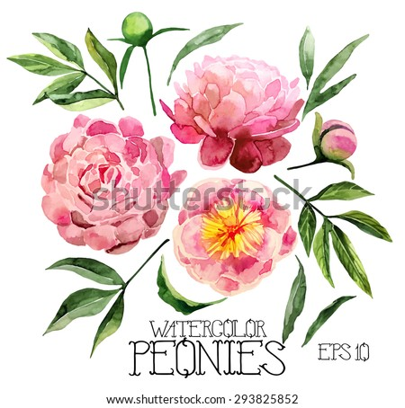 Watercolor peonies set.  Vector design elements isolated on white background - stock vector