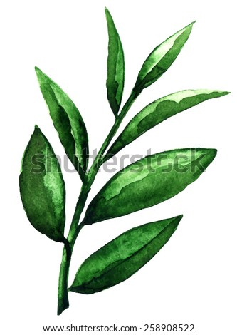 Watercolor tea green leaves closeup isolated on white background. Hand painting on paper - stock vector