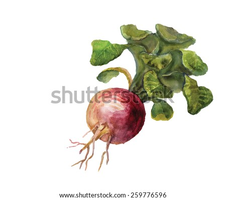 Watercolor turnip isolated on a white background. - stock vector
