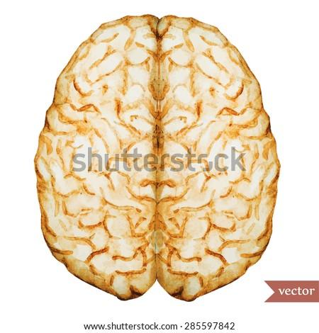 watercolor vector illustration colored brain - stock vector