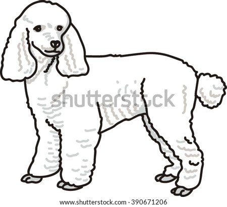 White French Poodle Dog Sitting Isolated on White Background.