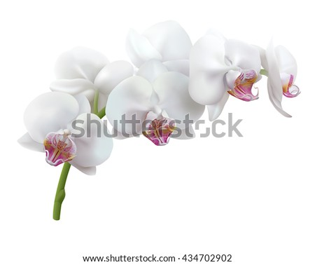 White orchid flowers. Stem of blooming Phalaenopsis, isolated on white background. Vector illustration.