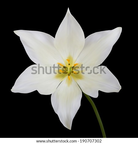 White tulips. Vector illustration. Isolated on black - stock vector