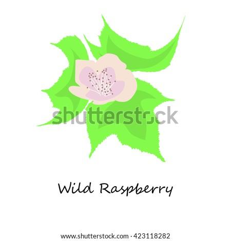 Wild Raspberry. Honey planty. Botany. Honey flower colorful illustration. Isolated on white background. Vector eps10 - stock vector