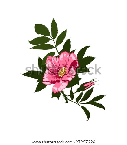 wild rose flower on a white background - stock vector