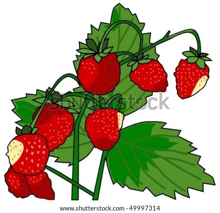 wild strawberries - stock vector